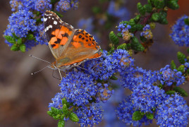 Butterfly-butterflies-insects