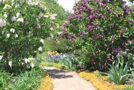 Flower - Lindsay Lilacs