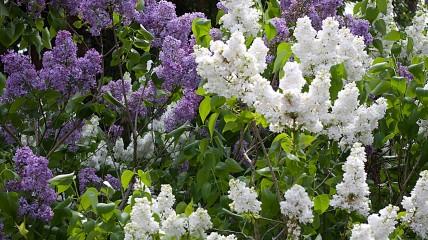 Lilac Garden2