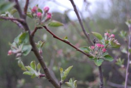 apple-tree-early-blossom-eastern-ontario-may-2012