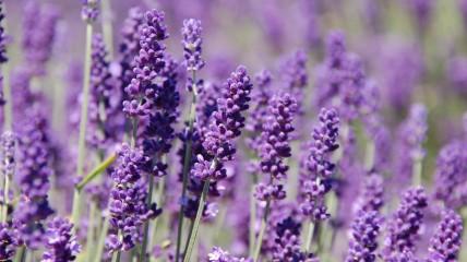 TRIPSETTER - Ontario Lavender Farm