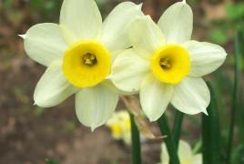 miniature-daffodil-flowers